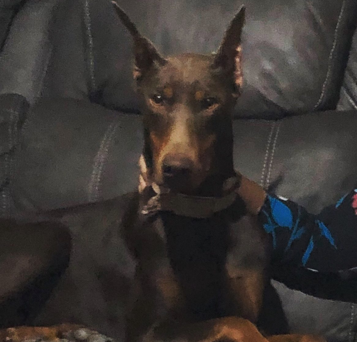 Salas Dobermans of Fort Worth